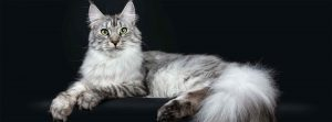 Should Your Next Cat Be A Maine Coon?